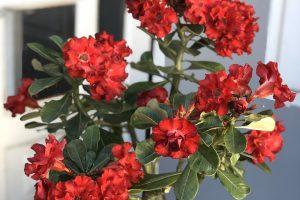 Mách nhỏ bạn cách trồng và chăm sóc hoa sứ thái