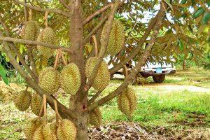 Hướng dẫn cách trồng và chăm sóc cây sầu riêng