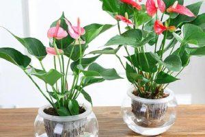 Điểm danh các loại hồng môn và cách phân loại cây hồng môn